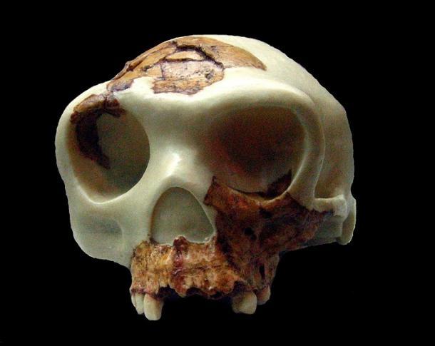 Reconstrucción del cráneo de Homo antecessor (Museo de Arqueología de Cataluña en Barcelona). PD