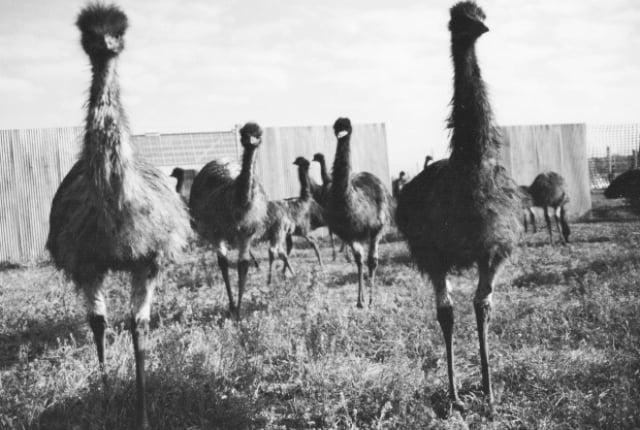 La Guerra del Emú, el conflicto más surrealista de la historia
